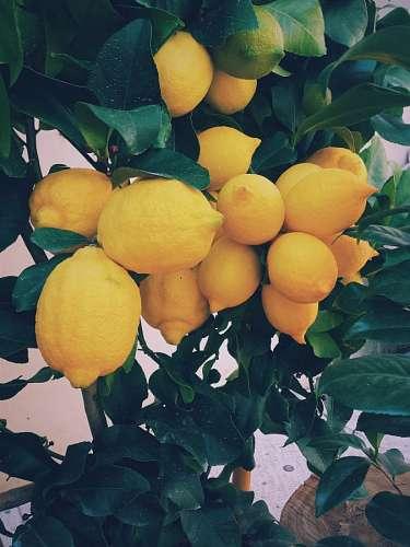 Limonero