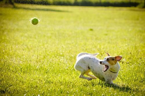 Gracioso cachorro jugando con su pelota de tenis