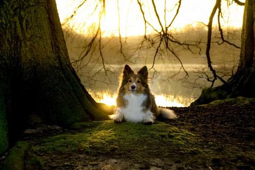 Perro Sheltie posando en el bosque