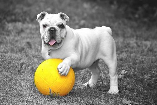 Simpático Bulldog Ingles con su balón amarillo