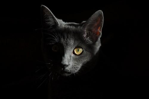 Gato gris con fondo negro