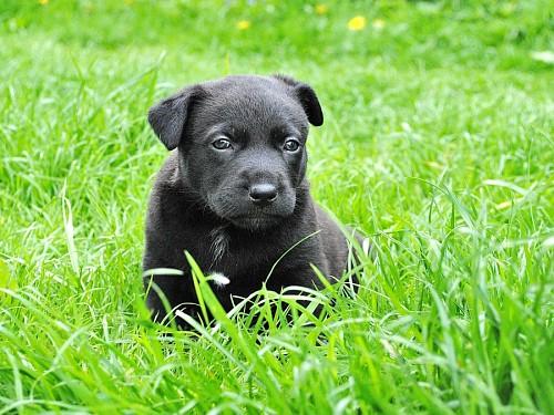 Pequeño cachorro de labrador negro en el césped