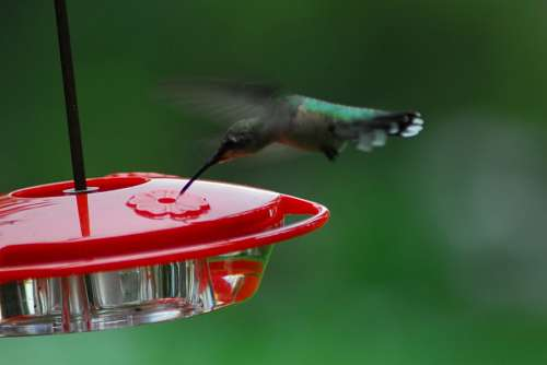 colibri,Natural,naturaleza,Belleza natural,Ave,Ave