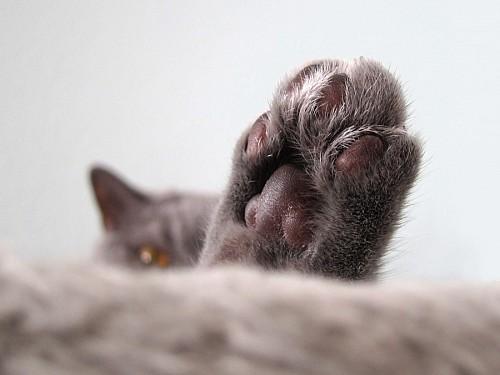 Primer plano de patita de gato