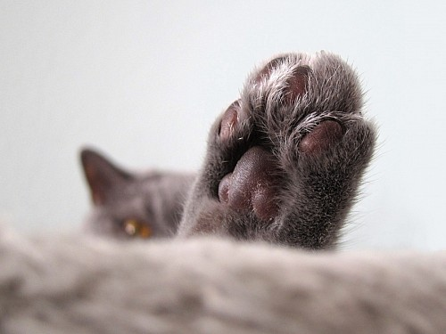 imágenes gratis Primer plano de patita de gato
