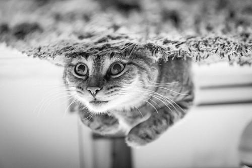 imágenes gratis Gatito divertido patas para arriba en blanco y negro