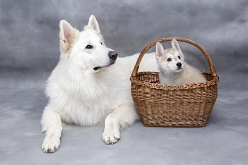 Perra siberiana junto a su cachorro dentro de un canasto