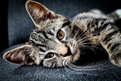 imágenes gratis Dulce gatito atigrado tomando un descanso en el sofá