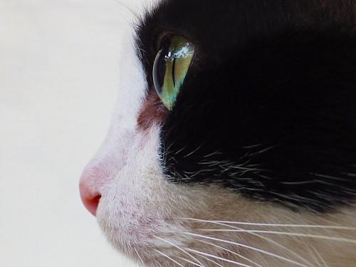 imágenes gratis Perfil de gato negro y blanco con ojos verdes intensos