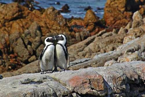Pareja de pingüinos sobre las rocas