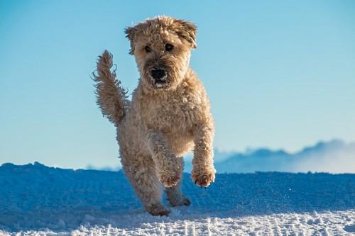 Perro Terrier Irlandés color trigo dando un salto en la nieve