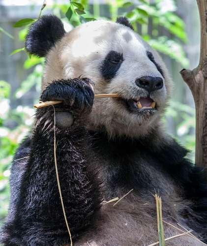 imágenes gratis oso, animal, panda, tierno, madera, morder, mordie