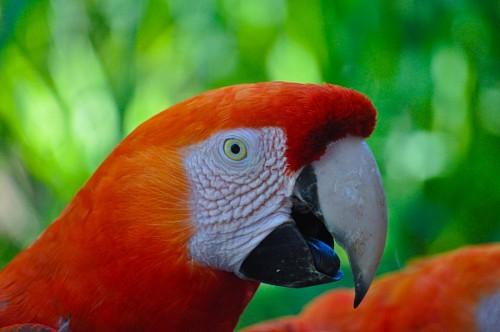 imágenes gratis Perfil de Guacamayo rojo