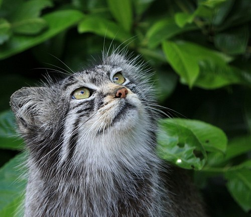 Gato montés observando la naturaleza