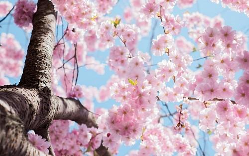 Flores de cerezo para fondo de pantalla HD