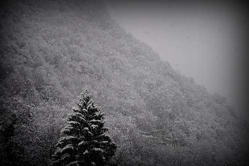 imágenes gratis blanco y negro, montaña, nieve, invierno, pino, pa
