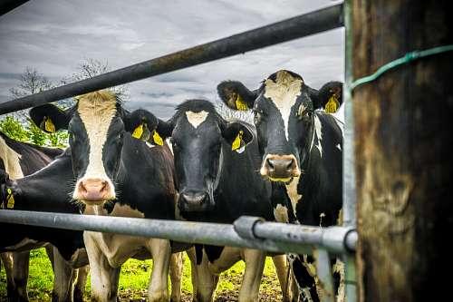 vaca, vacas, escena rural, holando, mancha, blanco