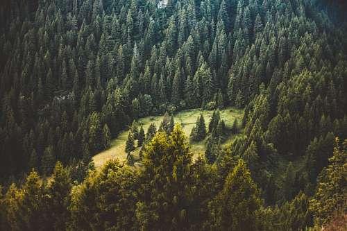 imágenes gratis Bosque de Pinos