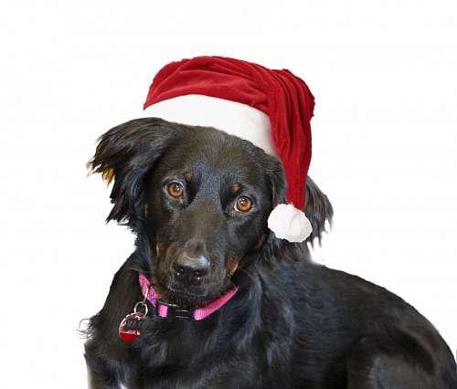 imágenes gratis Perro Navidad
