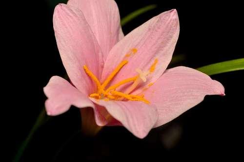 Flor Del Lirio con fondo negro