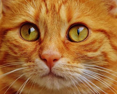 Primer plano de mirada felina intensa