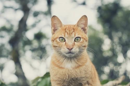 imágenes gratis Primer plano con efecto Bokeh a Gato dorado