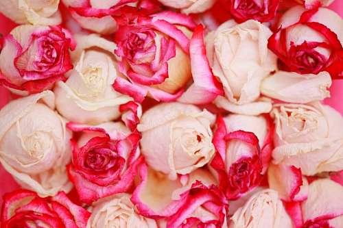 imágenes gratis Rosas blancas y rojas