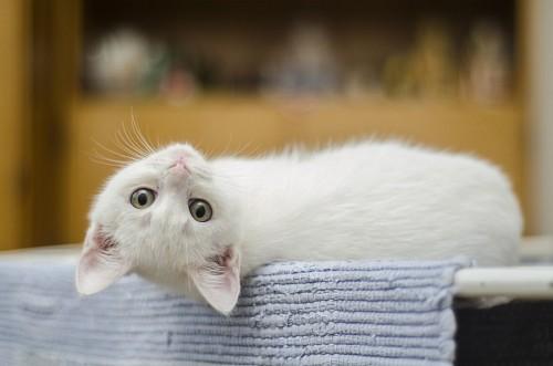 Gato blanco del revés