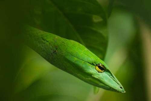 imágenes gratis Serpiente verde