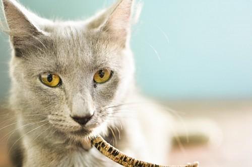 Primer plano de gata gris