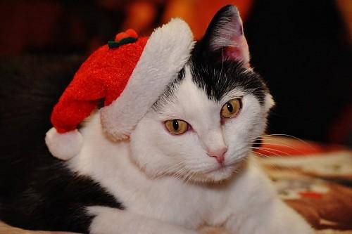 Tierno gato con gorro navideño