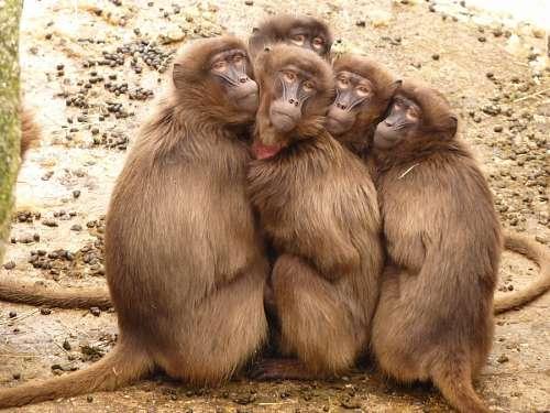 Monos babuinos