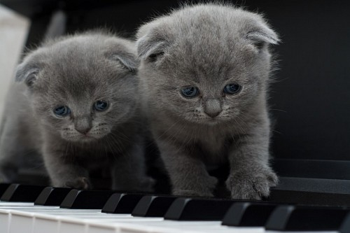 imágenes gratis Gatitos grises sobre el piano