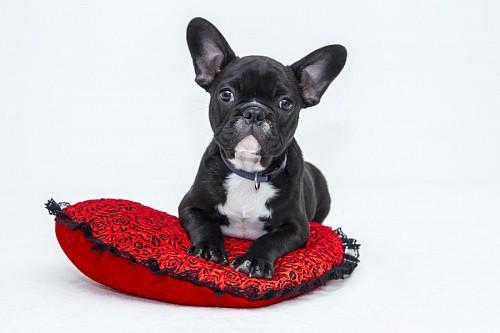 Adorable cachorro de BullDog Frances sobre cojín rojo