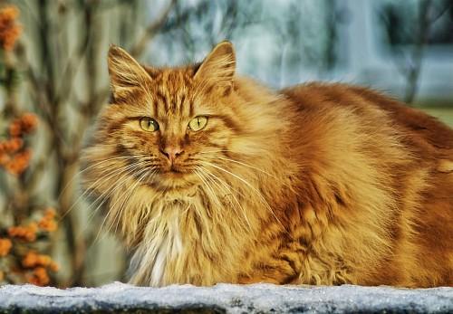 Gato montés en la nieve