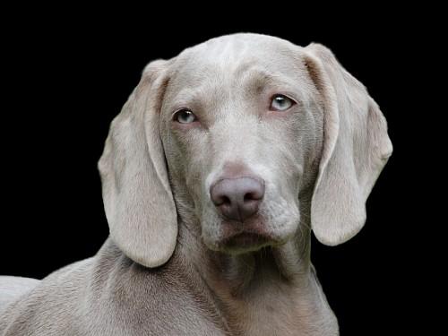 Primer plano de perro Weimaraner