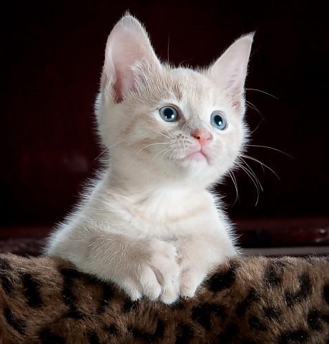 imágenes gratis Pequeño gatito siames sobre manta animal print