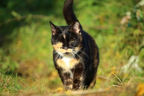Gato tricolor dando un paseo en los matorrales