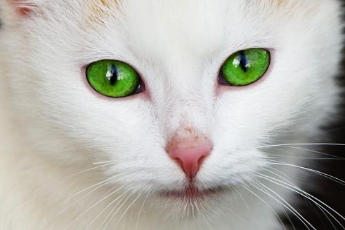 imágenes gratis Preciosos ojos verdes intensos de felino