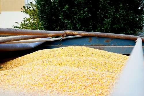 maiz, grano, amarillo, rural, vista de frente, muc