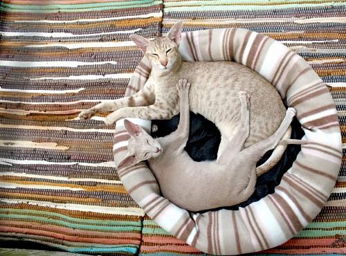 Gatos Thai descansando en cama para mascotas