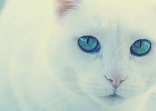 imágenes gratis Dulce gato albino con mirada verde vibrante