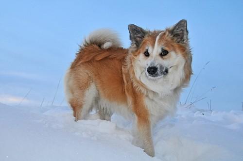 Perro pastor islandés en la nieve