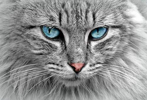 imágenes gratis Gato gris con profunda mirada turqueza