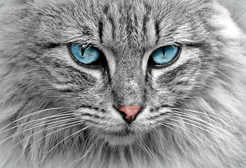 Gato gris con profunda mirada turqueza
