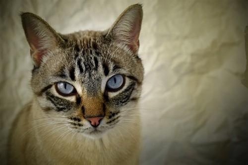 Primer plano de gato con sus ojos azules profundos