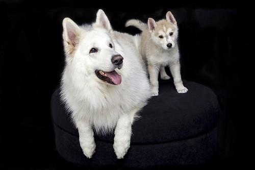 Perra siberiana con su cachorro en producción fotográfica