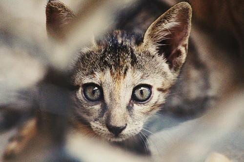Primer plano de gato doméstico observando fijamente