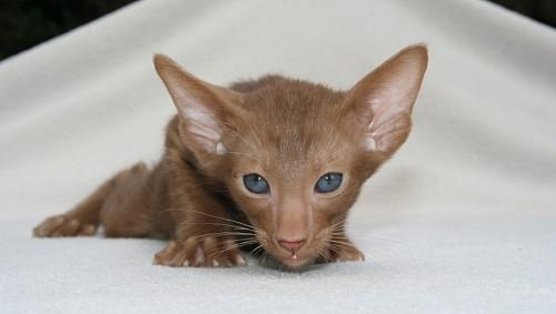 imágenes gratis Gato oriental para fondo de pantalla