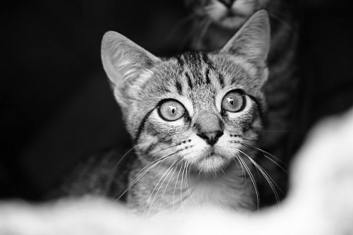 Gatito en blanco y negro para fondo de pantalla